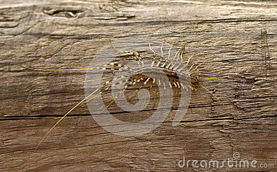 Millipedes of the species Scutigera coleoptrata