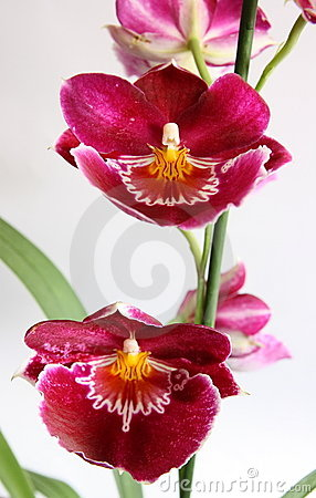 Free Miltoniopsis Orchid Royalty Free Stock Photography - 2845647