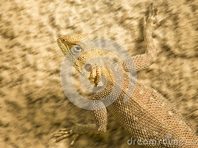 Mimetic lizard running on a sandy soil, Senegal