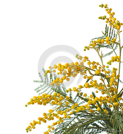 Free Mimosa Stock Photos - 49293003