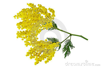 Mimosa branch isolated.