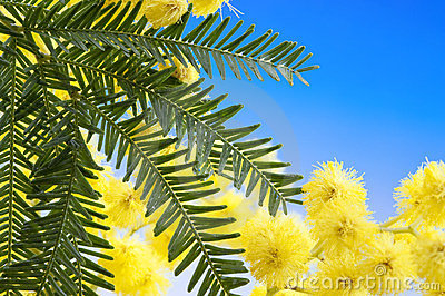 Mimosa flowers cloose up