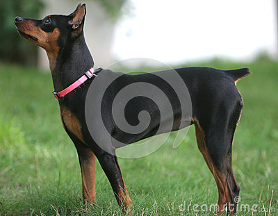Min Pin Female