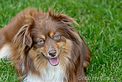 Minature Australian Shepherd