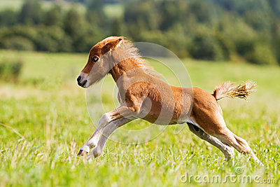 Mini caballo Falabella del potro