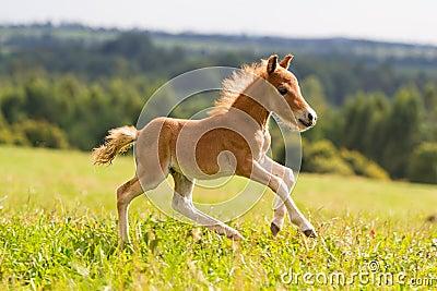 Mini cavallo Falabella del Foal