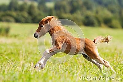 Mini cavalo Falabella do potro