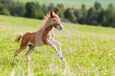 Mini cheval Falabella de poulain