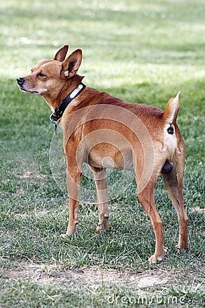Mini-dog.