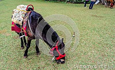 Mini dwarf horse Graze