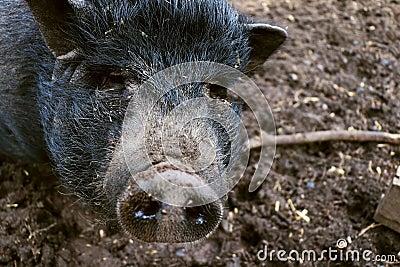 Mini pig in mud Stock Photo