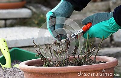 Mini roses pruning