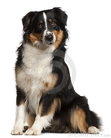 Miniature Australian Shepherd, 2 years old