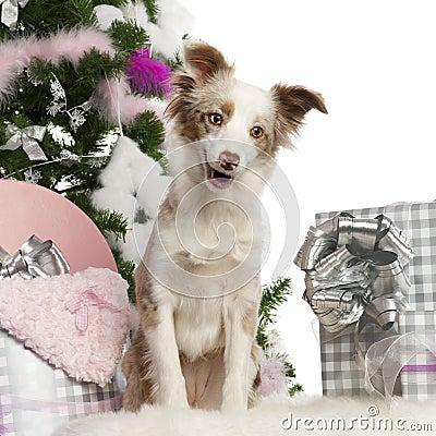 Miniature Australian Shepherd puppy, 1 year old