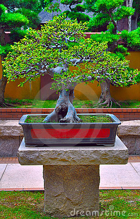 Miniature Bonsai Tree Stock Photo - Image: 19992290