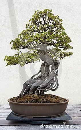 Free Miniature Bonsai Tree Stock Images - 77367424
