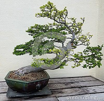 Free Miniature Bonsai Tree Royalty Free Stock Images - 77367439