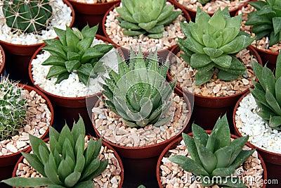Miniature cacti