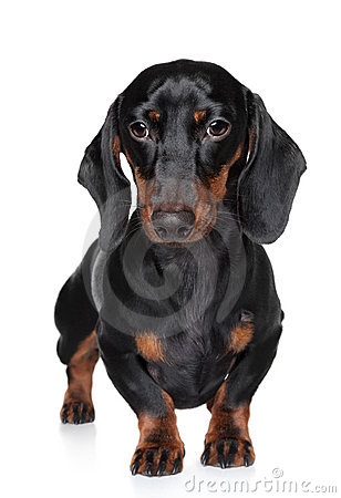 Miniature dachshund close-up portrait