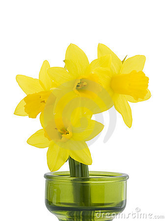 Miniature Daffodils on White Background