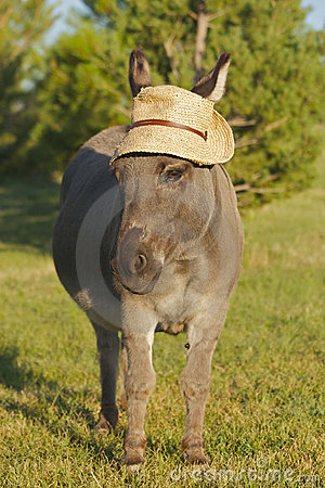 Miniature donkey frontal with hat