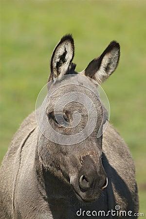 Miniature Donkey Portrait