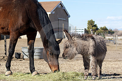 Miniature donkey and Thoroughbred horse