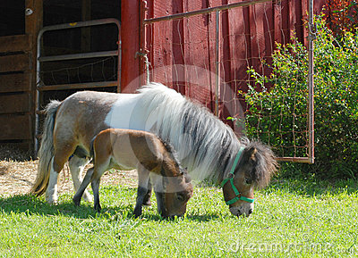 Miniature Horse with Baby