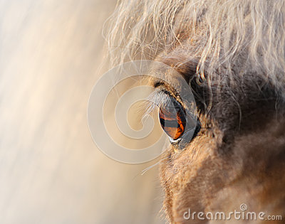 Miniature horse - close up shot