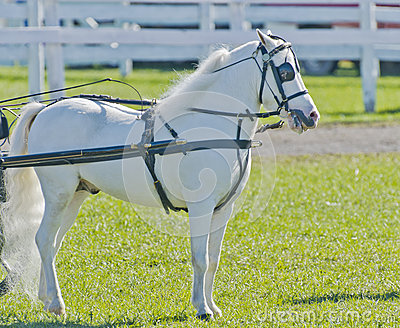 Miniature Horse in Harness