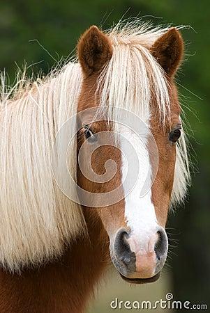 Miniature horse in meadow