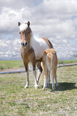 Miniature Horse and Nursing Foal