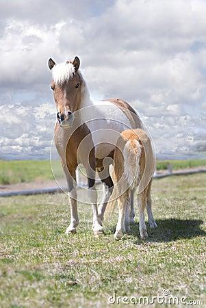 Miniature Horse and Nursing Foal