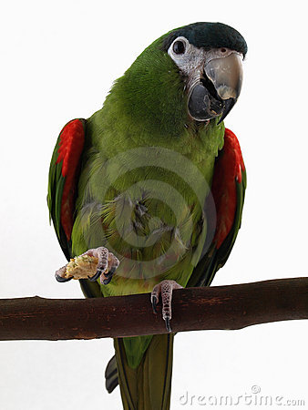 Miniature Noble Macaw with Cracker