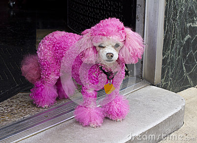 Miniature Pink Poodle in Doorway