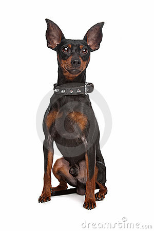 Free Miniature Pinscher Royalty Free Stock Photo - 19450835