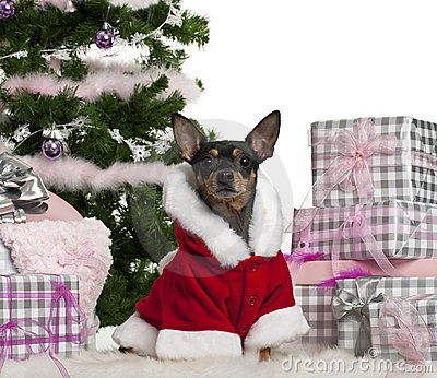 Miniature Pinscher, 3 years old, wearing Santa