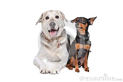 Miniature Pinscher and a mixed breed Lab