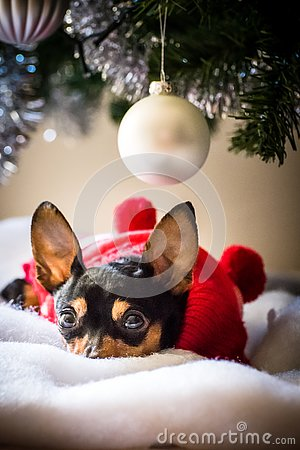 Free Miniature Pinscher Reasting Under The Christmas Tree Royalty Free Stock Photo - 134242025