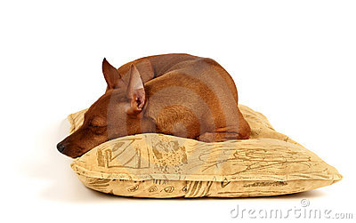 Miniature Pinscher sleeping on the pillow