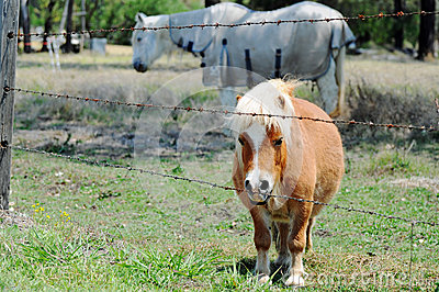 Miniature pony with full standard size pony in paddock