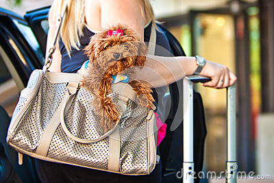 Miniature Poodle Going on a Trip