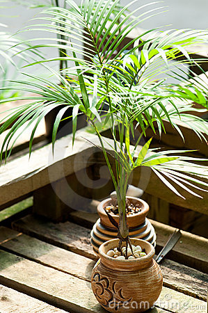 Free Miniature Potted Palm Tree Royalty Free Stock Photo - 14918925