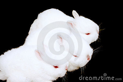 Miniature Rabbits