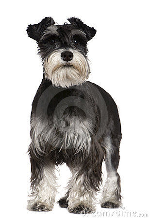 Free Miniature Schnauzer, 10 Months Old, Standing Royalty Free Stock Photography - 15360547