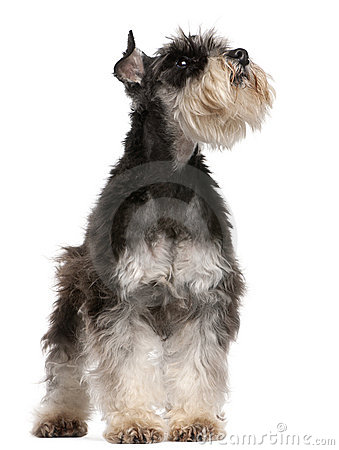 Miniature Schnauzer, 6 years old