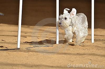 Miniature Schnauzer at a Dog Agility Trial Editorial Photo