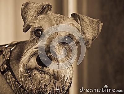Miniature schnauzer dog head shot