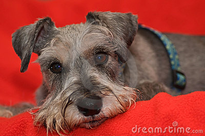 Miniature schnauzer dog laying on red blanket