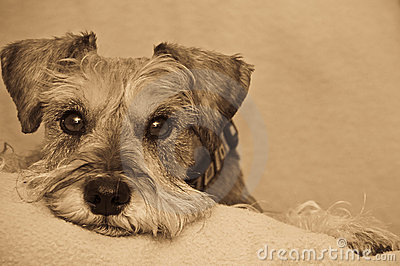 Miniature schnauzer dog resting on blanket